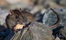 Brown Rat 3