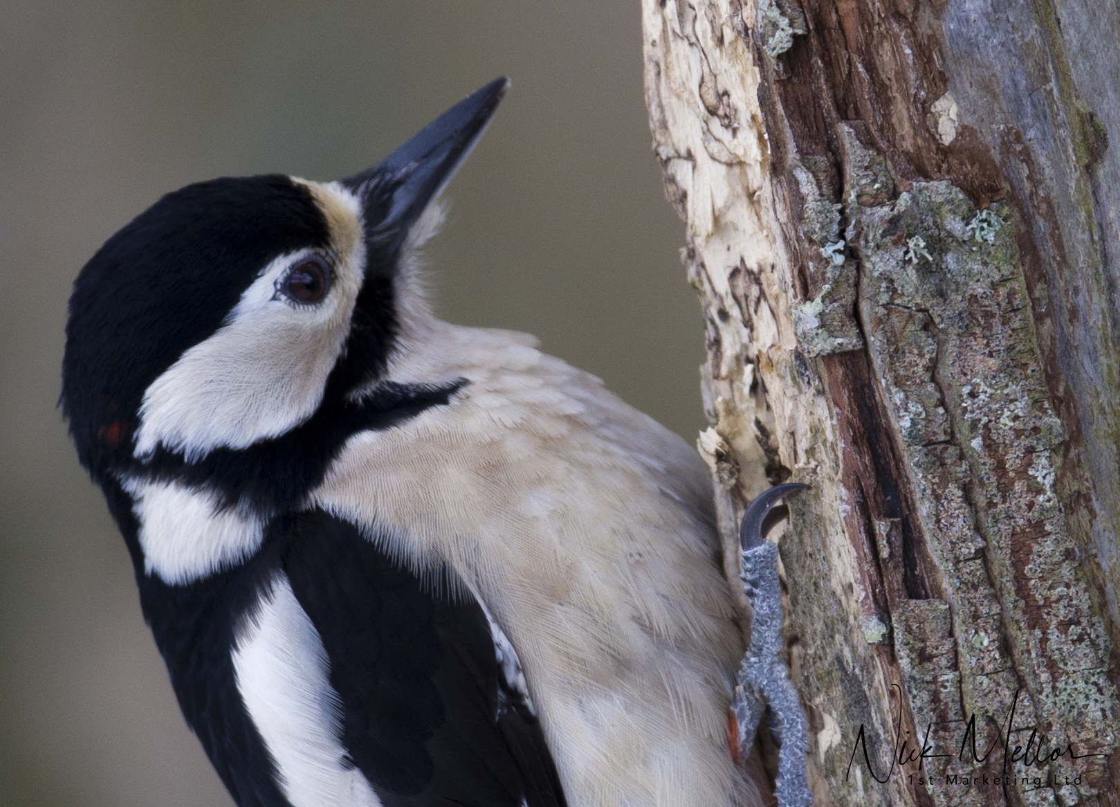 Spotted woodpecker close up
