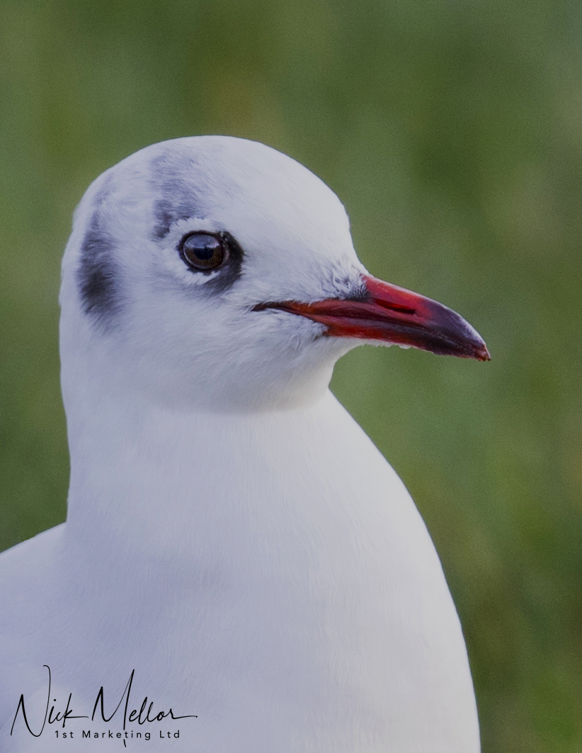 Black Headed Gull winter Plumage