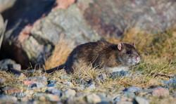 Brown Rat 1