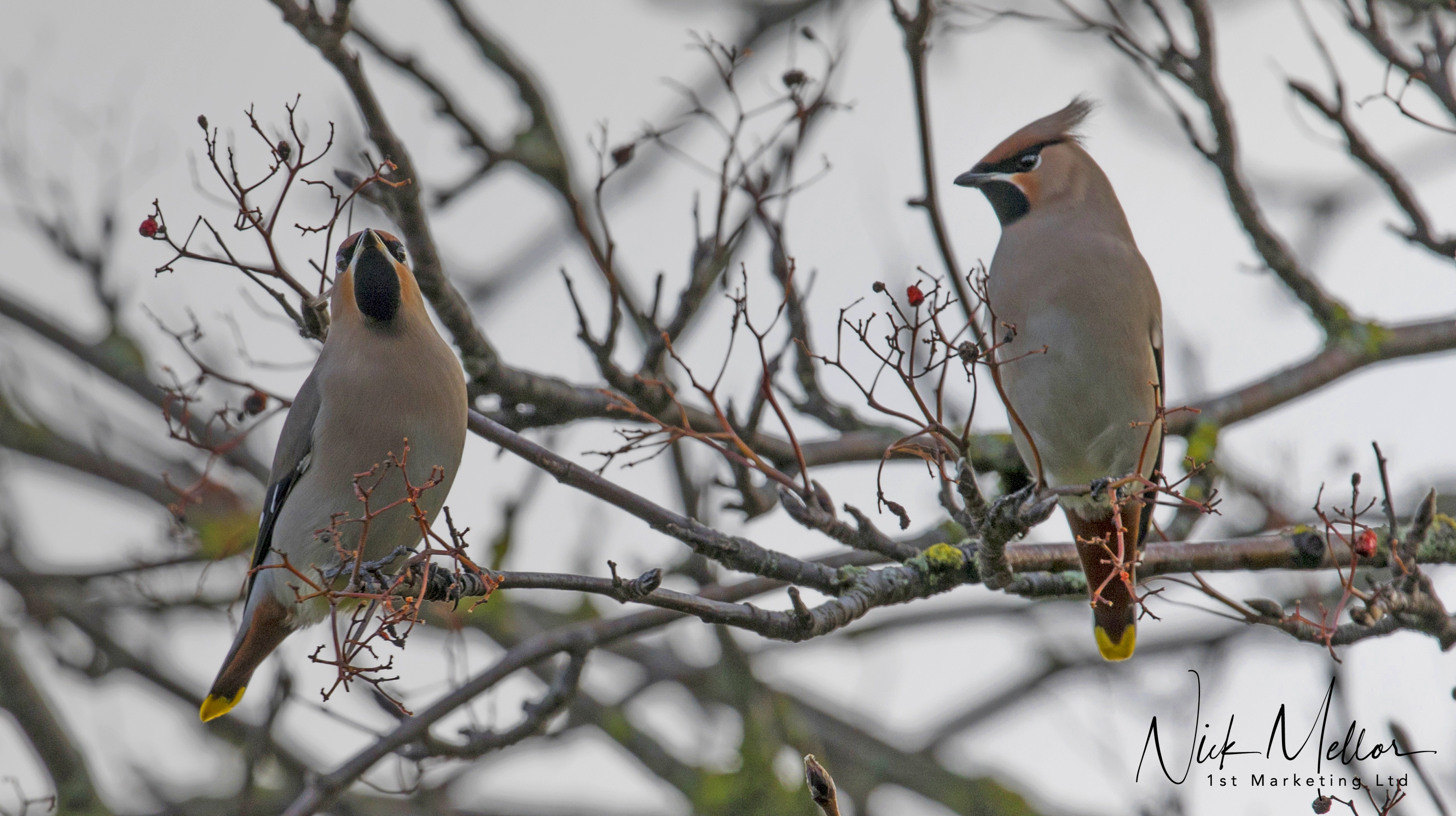 Waxwing's