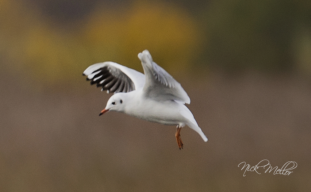 Black Headed Gull in Flight winter p
