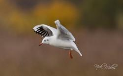 Black Headed Gull in Flight winter p