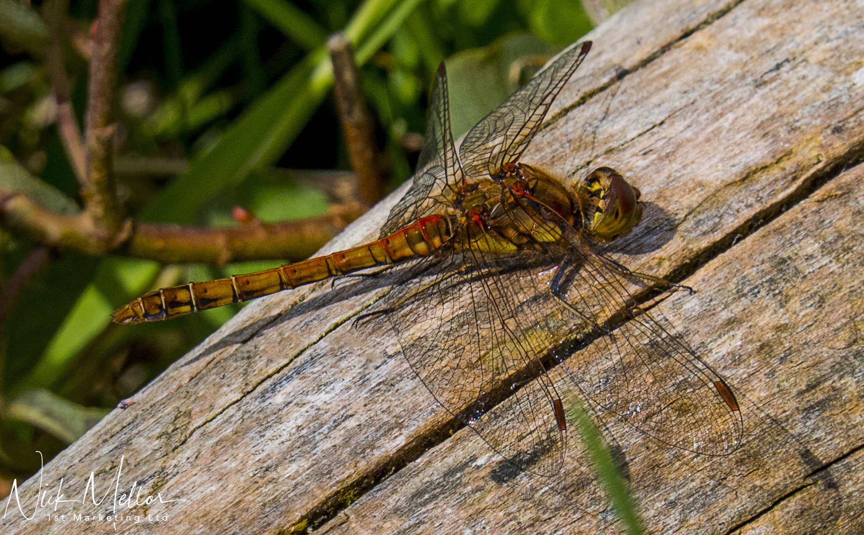 Common Darter Dragon fly