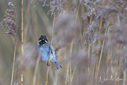Reed Bunting a