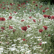 """""""Poppies Far and Wide"""""""