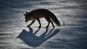 Der Fährtenleser weiß es zuerst! | Der Wolf im Schwarzwald
