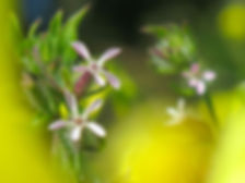 Light pink flowers of small-flowered catchfly with a yellow and green background in soft focus