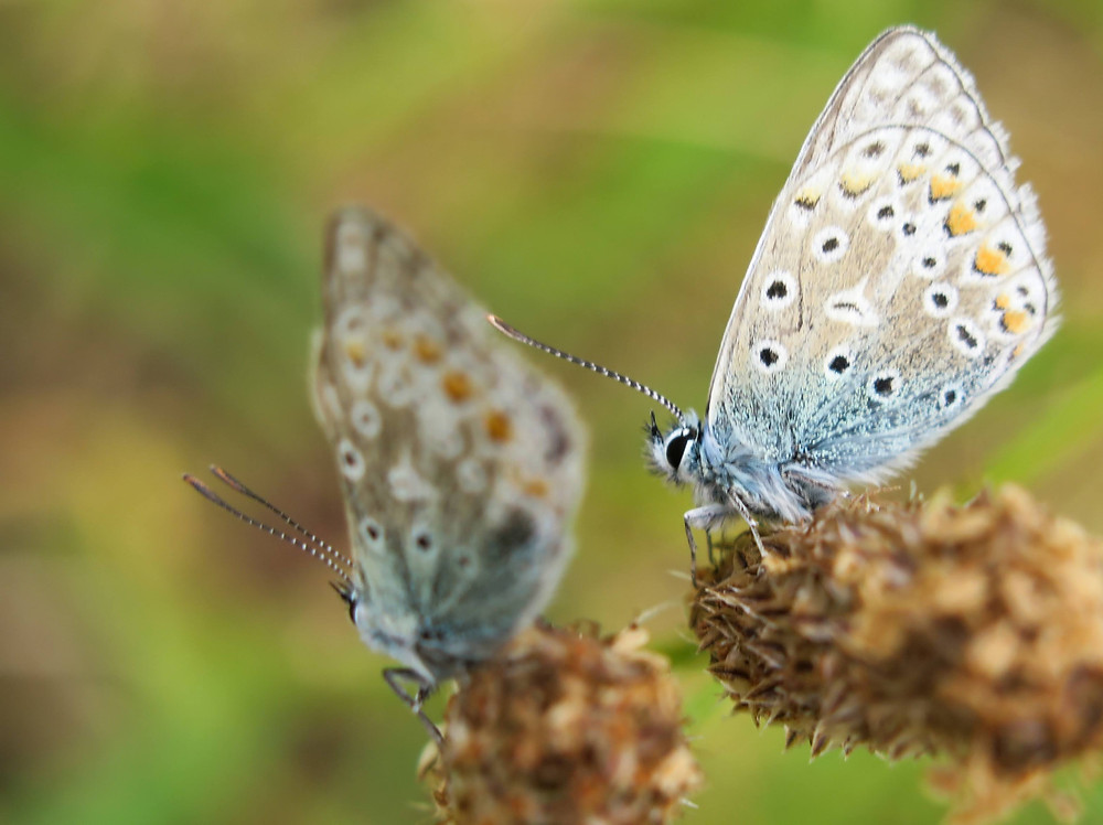 Two butterflies - one in focus, the other blurred in the background - with irridescent blue wings and a pattern of black and orange dots