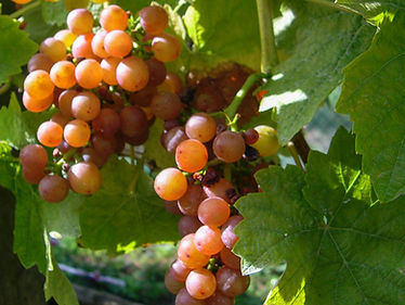 Bunches of red grapes in the dappled shade of vine leaves