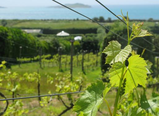 St Martin's Vineyard - The Future