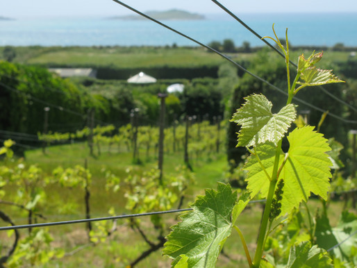 St Martin's Vineyard - The Future
