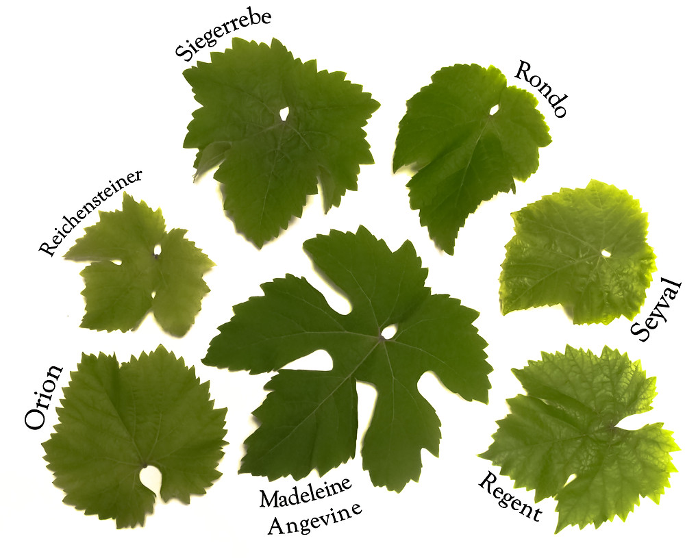 A selection of green vine leaves with the individual variety names next to them