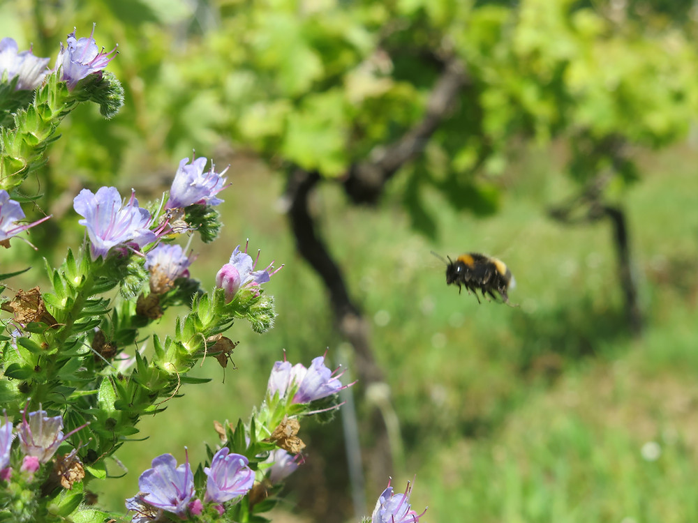 A bumblebee in flight heading towards lilac-blue flowers - the trunks and leaves of vines can be see in the background
