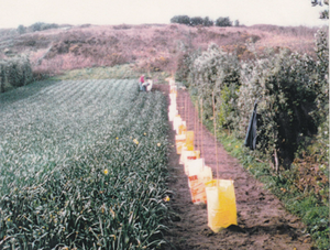 A faded photograph of vines being planted with yellow protective tubes into a daffodil bulb field