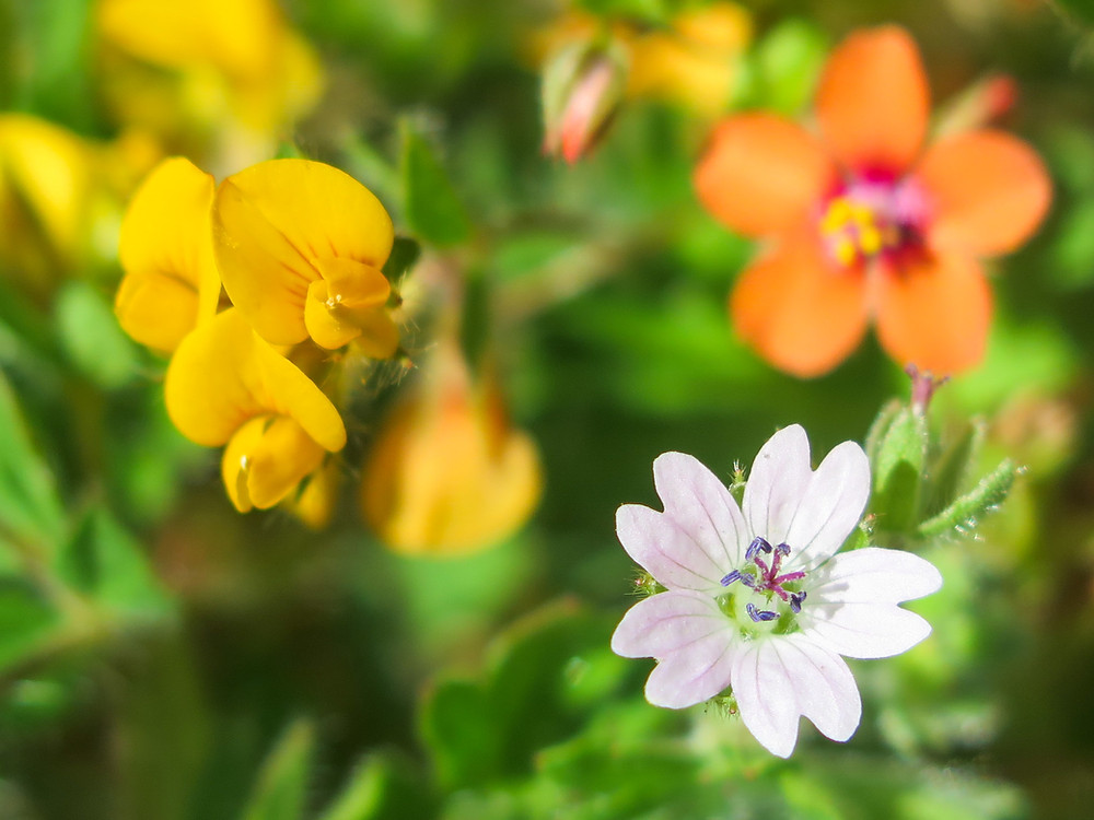Three flowers growing together - a yellow pea-family flower, a white open geranium flower and a typical orange flower in the background