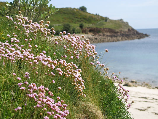 Pink thrift flowers in the foreground with a rocky bay visible in the background