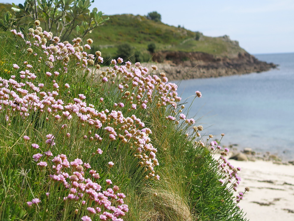 Mounds of low-growing pink flowers with a sandy bay, blue sea and rocky headland in the background