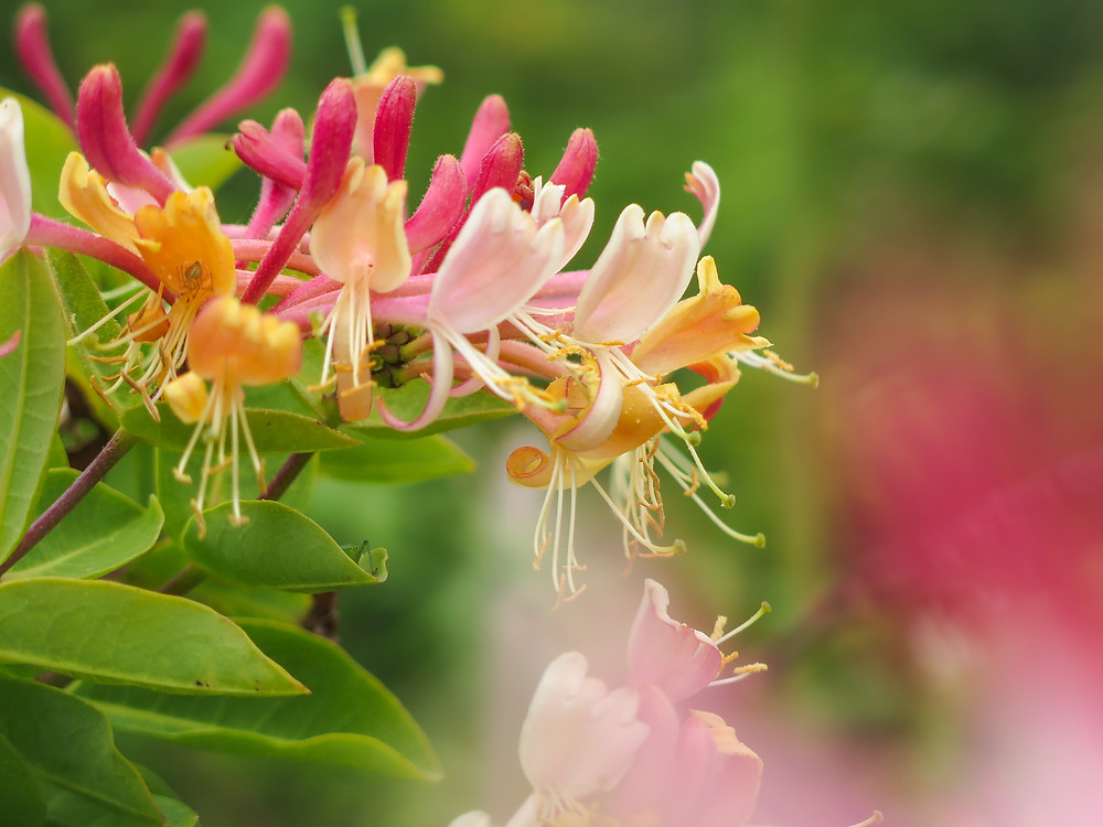 Pink and yellow honeysuckle flowers with long stigma and stamens protruding