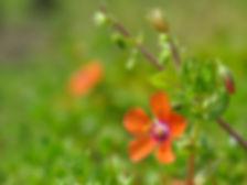 An orange-flowered scarlet pimpernel with a soft green background