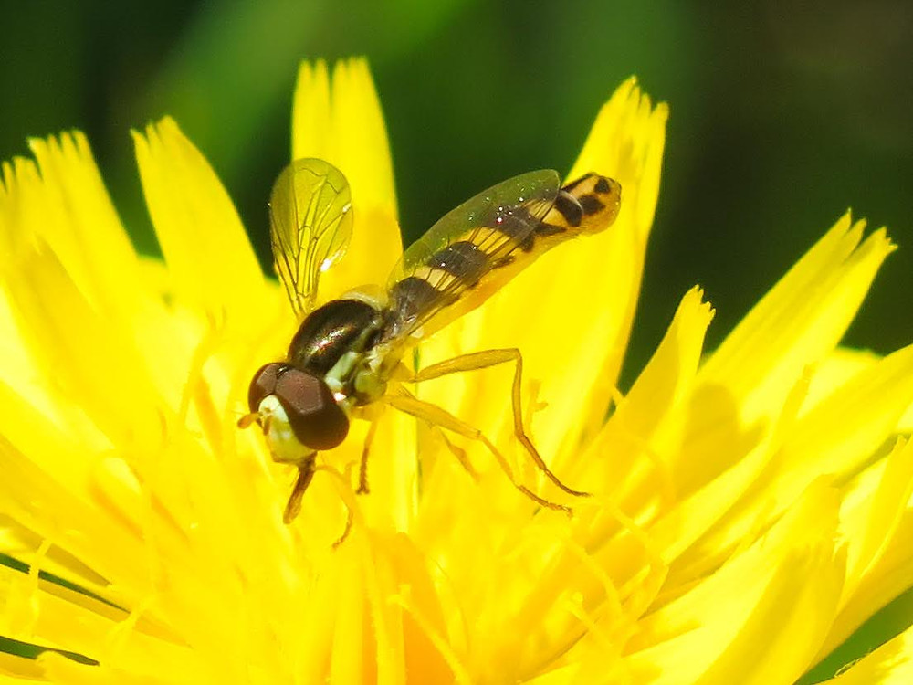 A black and yellow striped hoverfly with a long body feeding on a yellow dandelion-like flower