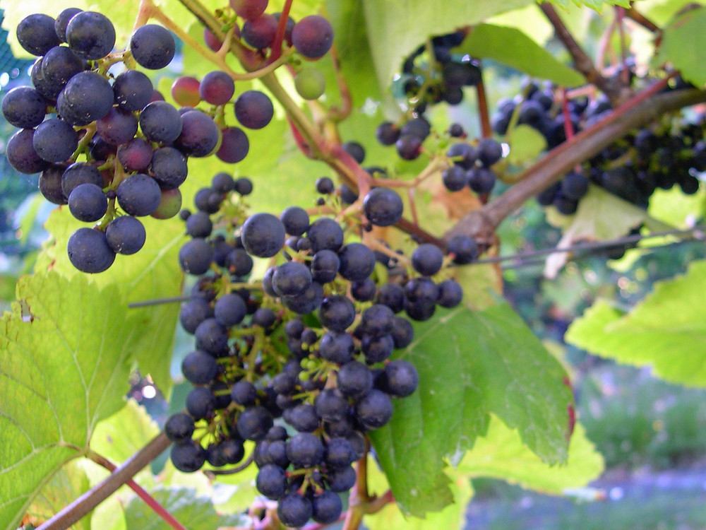 A bunch of purple coloured grapes with green leaves in the background