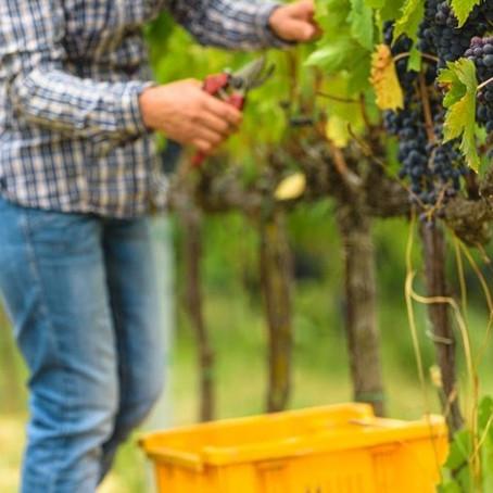 Vamos às uvas! | Vindimas 2020 em Portugal