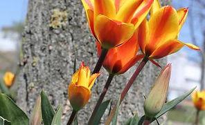 fire-tulip.jpg