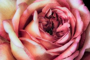 BeBold Pink Rose Sample.jpg