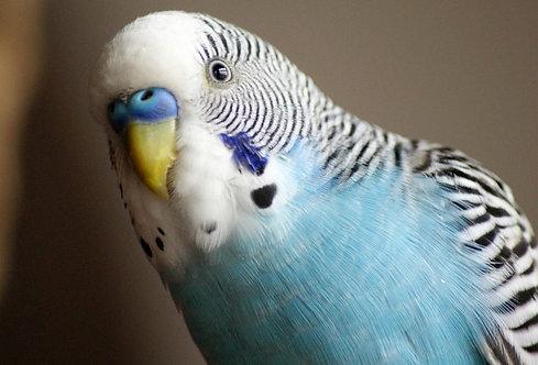 Волнистые попугаи (девочки)