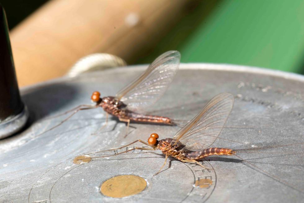 """Rusty Spinners"" Ephemerella subvaria"