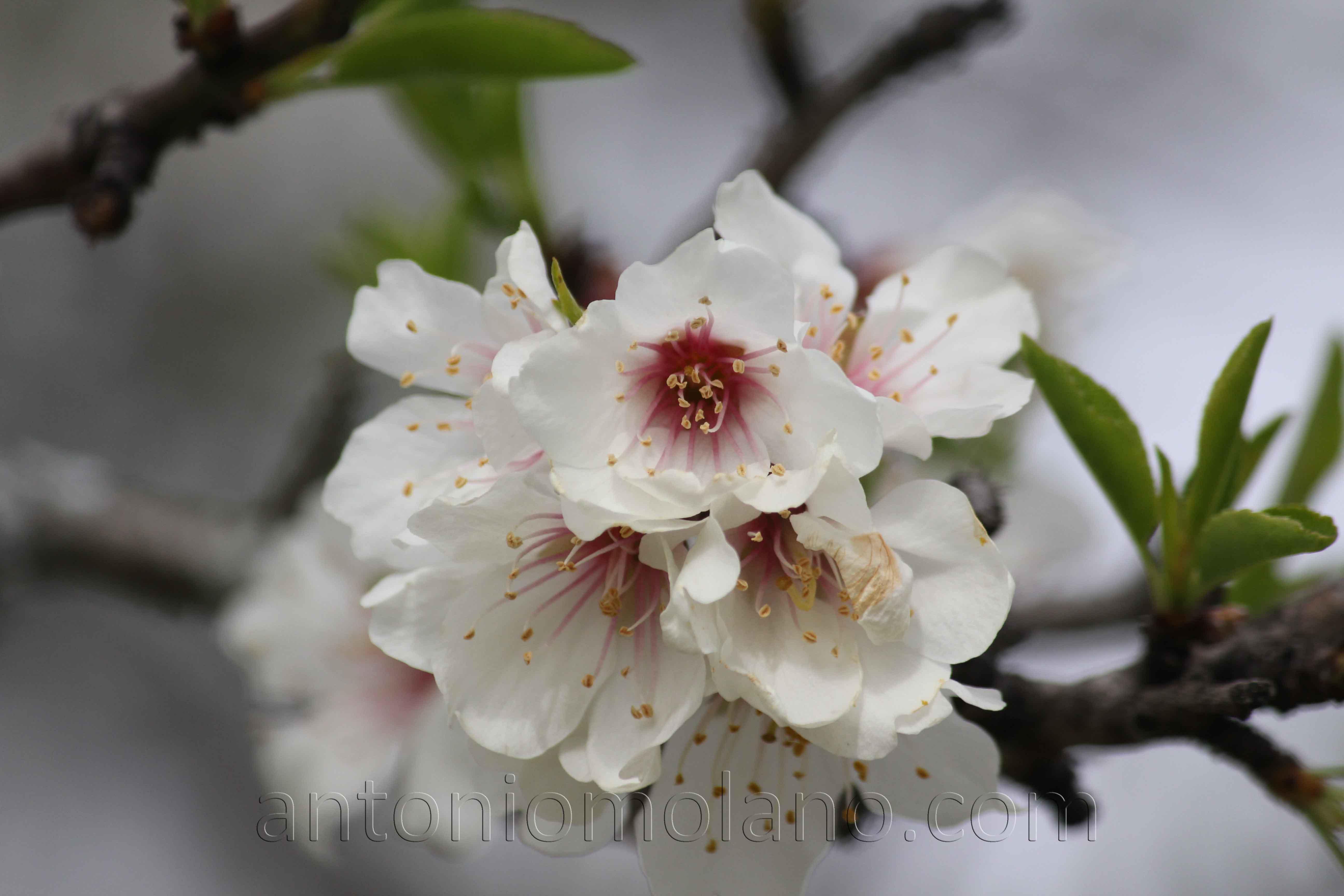 flor de almendro.jpg