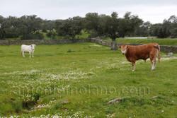 dehesa con vacas