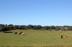 Dehesa vacas.jpg