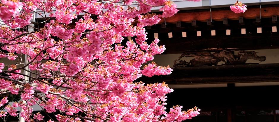 土肥桜が咲き始めました。