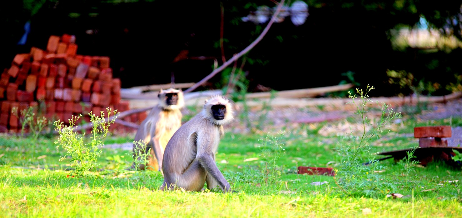 Monkeys at Hiranya