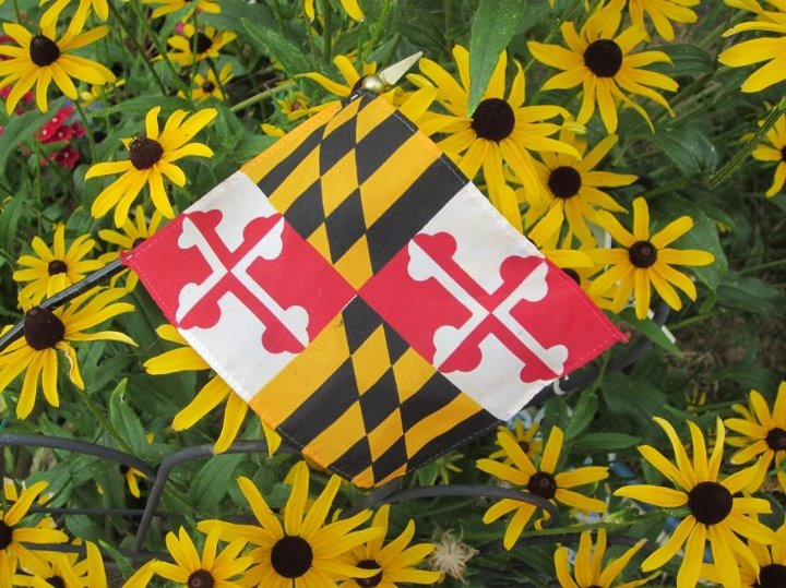 Maryland flag among blackeyed Susans