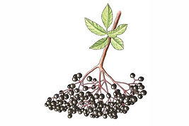 Elderberry_edited.jpg