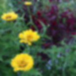 yellow zinnia flowers