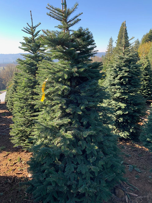 Noble Tree 5-6 ft