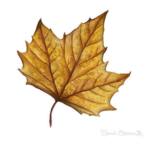 Planetree Leaf