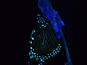 Biofluorescence of the Monarch Butterfly
