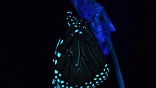 Biofluorescence of the Monarch Butterfly
