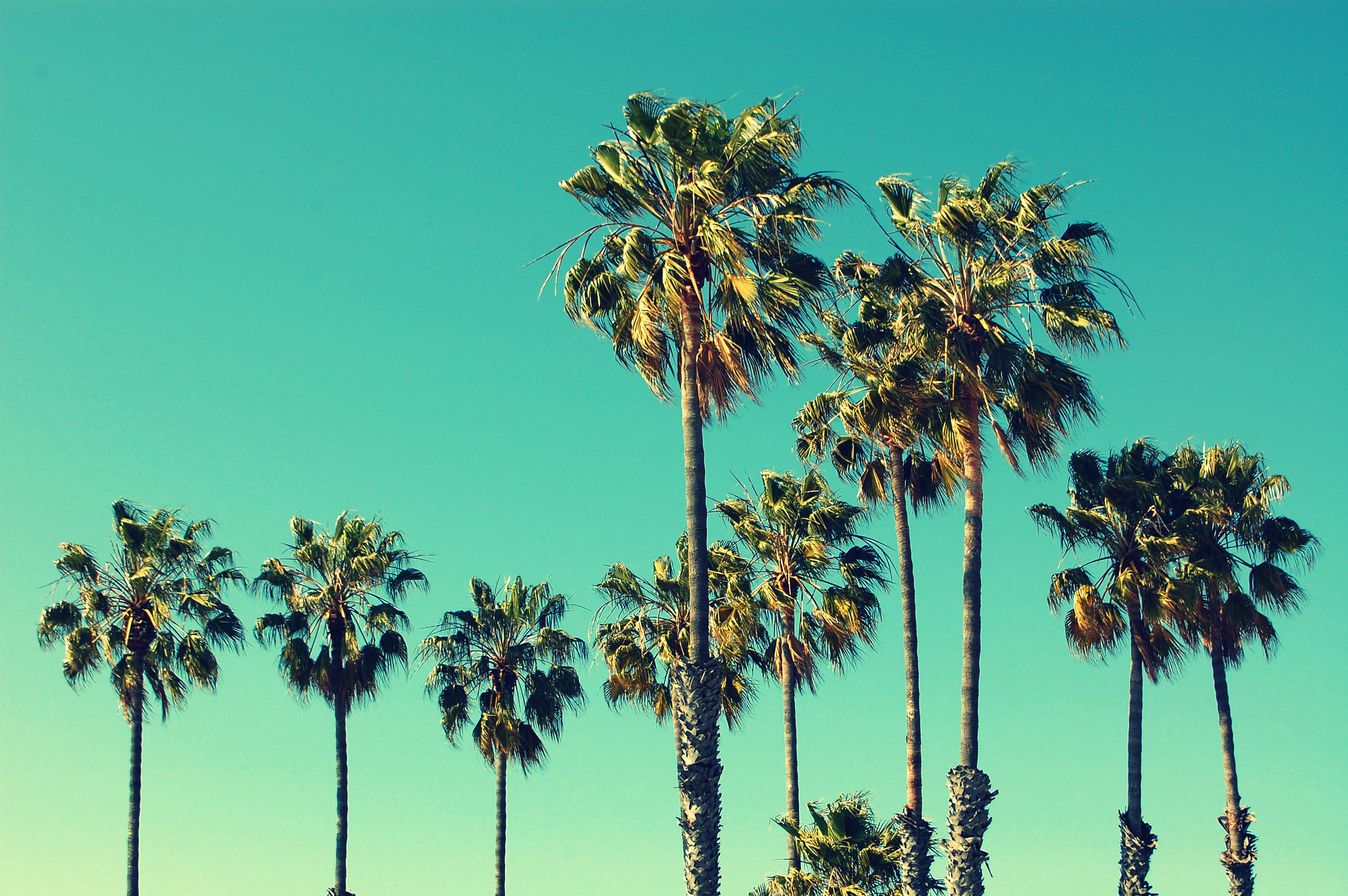 Palm trees at Santa Monica beach