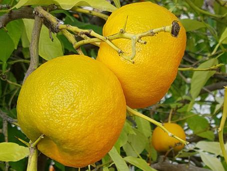 Bitter Seville orange preserve - Kitromila