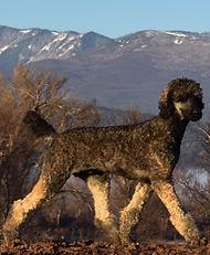 Guinnes_Tibetan_Mastiff_Masti_Doodle_Masti_Poo_Tibetan_Masti_Doodle_Tibetan_Masti_Poo_Tibetan_Mastiff_Poodle