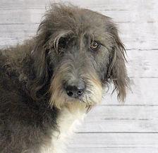 Gypsy_Tibetan_Mastiff_Masti_Doodle_Masti_Poo_Tibetan_Masti_Doodle_Tibetan_Masti_Poo_Tibetan_Mastiff_Poodle