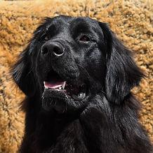 Layla_Dogs_Tibetan_Mastiff_Masti_Doodle_Masti_Poo_Tibetan_Masti_Doodle_Tibetan_Masti_Poo_Tibetan_Mastiff_Poodle