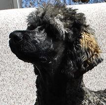 Guiness_Dogs_PuppiesTibetan_Mastiff_Masti_Doodle_Masti_Poo_Tibetan_Masti_Doodle_Tibetan_Masti_Poo_Tibetan_Mastiff_Poodle