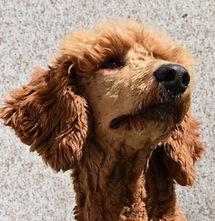 Rusty_Tibetan_Mastiff_Masti_Doodle_Masti_Poo_Tibetan_Masti_Doodle_Tibetan_Masti_Poo_Tibetan_Mastiff_Poodle